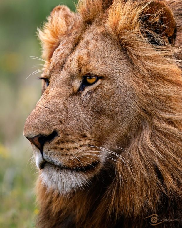 regal lion